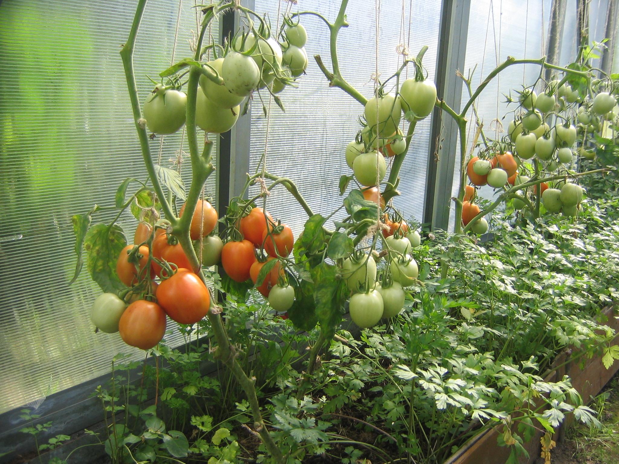 Выращивание помидоров в парник